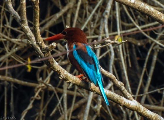 The white throated kingfisher provided a flash of colour