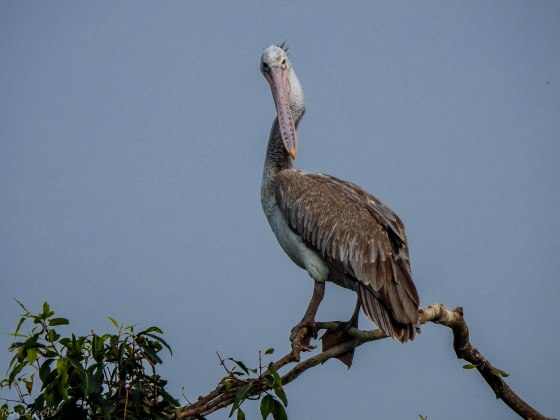 Here we can see why they are called Spot-billed Pelicans