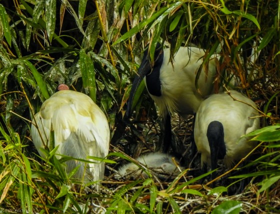 A few black headed ibises were spotted tending to a chick