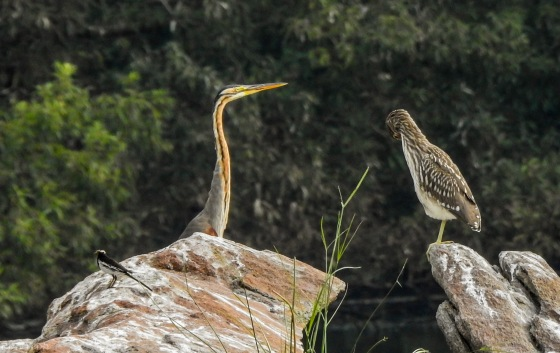 Purple heron, juvenile heron and wagtail in foreground