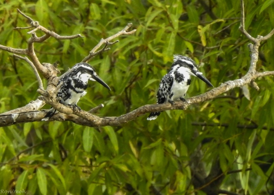 A pair of Pied Kingfishers flew in and perched...