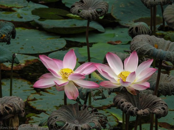 Water lilies in the park to end with
