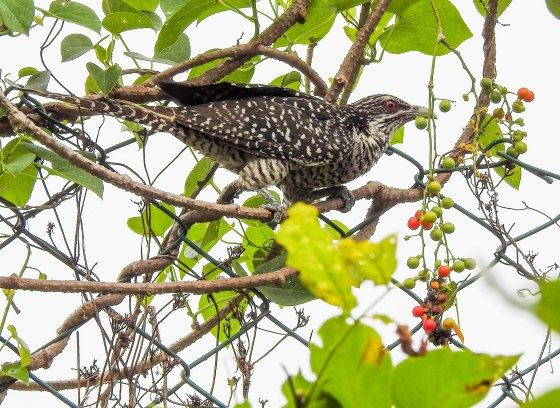 and finally, the common but still very beautiful female Koel
