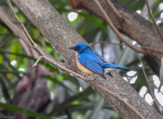 The magnificently coloured Tickell's Blue Flycatcher