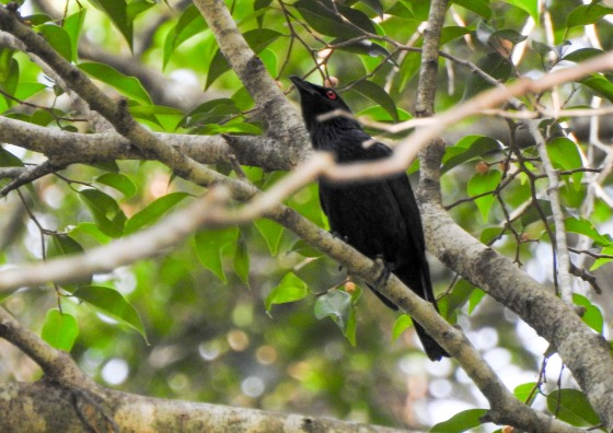 this Asian glossy starling watched us as we came down