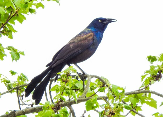 The Common Grackle in a tree
