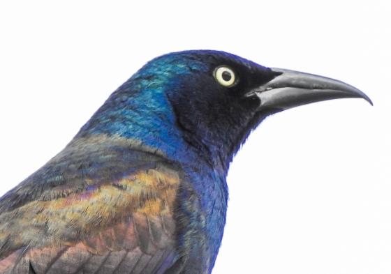 resplendent blue head