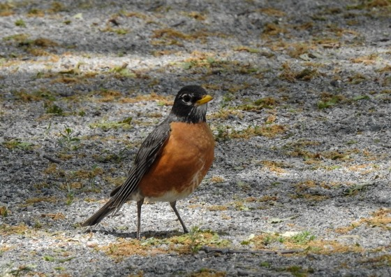 the ubiquitous American robin