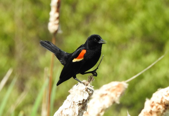 red winged blackbird posing