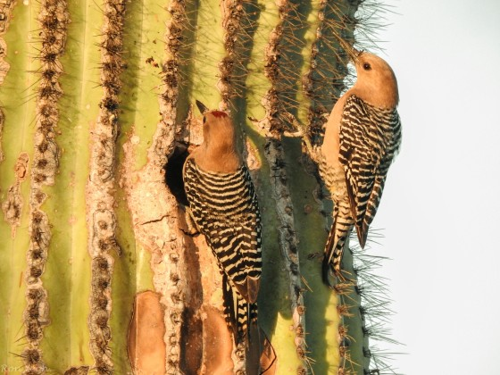 The made their nests in the holes of the giant Saguaro cactus..here we see a couple, the male with the red cap