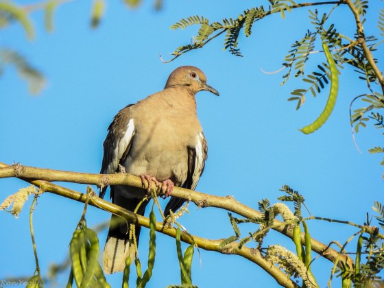 another view of the white winged dove