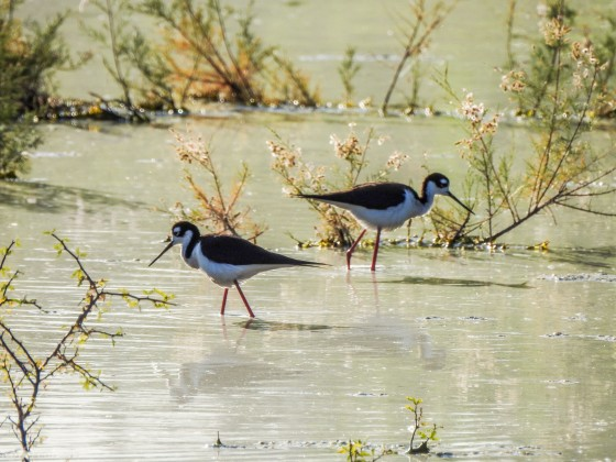 a pair of black necked stilits