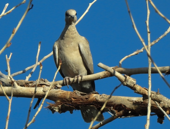 another view of mourning dove from the front