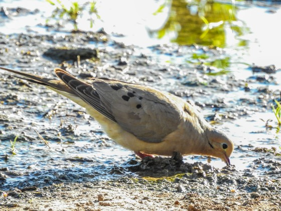 The most common bird seen on this trip was undoubtedly the Mourning Dove with its characteristic spotted wings