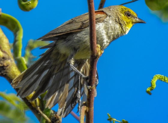 This was another gorgeous lifer..the Verdin