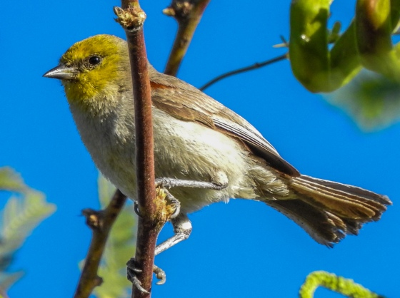 another view of the Verdin