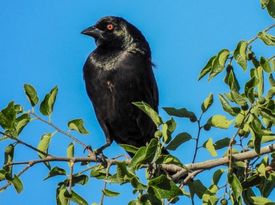bronze cowbird looked evil