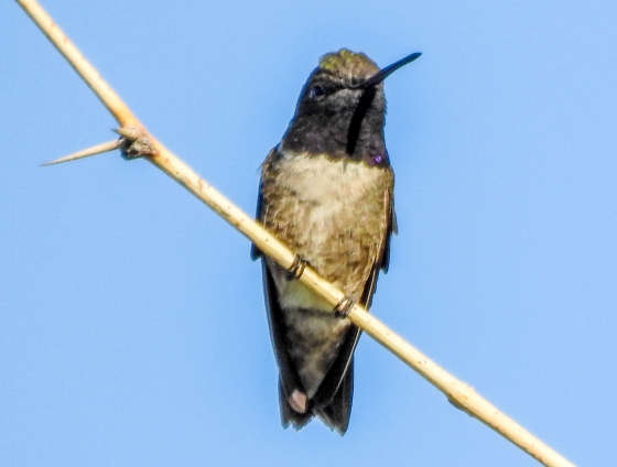 ?Black chinned hummingbird