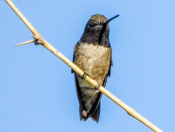 ?Black chinned hummingbird