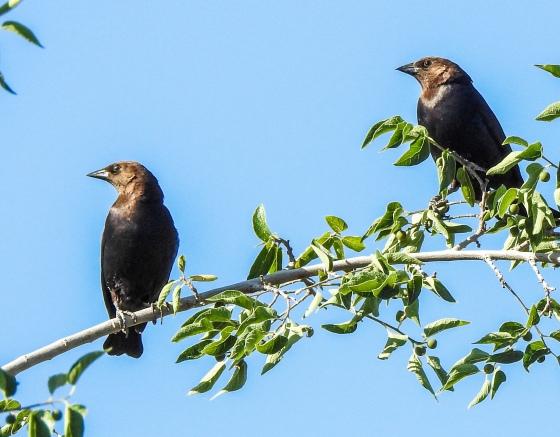 Brown headed cowbirds