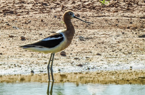 but this was another wonderful bitd that I''d never seen before...the American Avocet with its upturned beak...