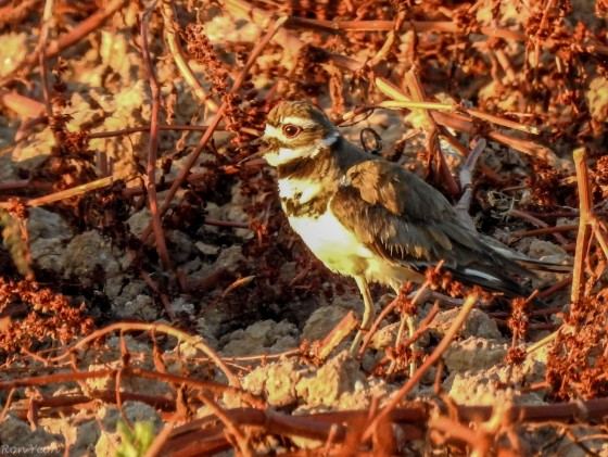 Killdeer from the side