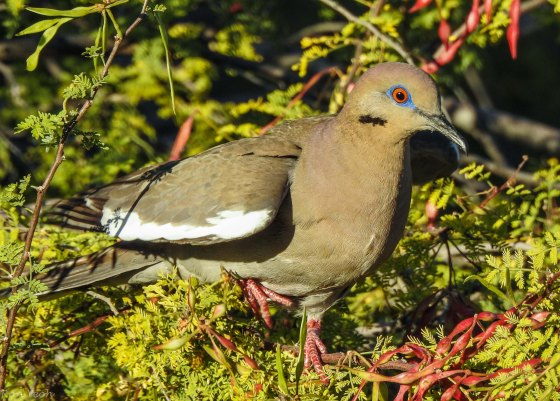 The beautiful white winged dove with blue eye rings