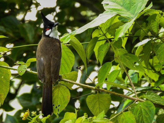 Whilst there were lots of little birds flitting around, we only managed to get one decent shot of this sooty headed bulbul...