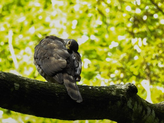 and then RIchard spotted this bird perched rather near to us, preening itself...I thought it was a pigeon at first...