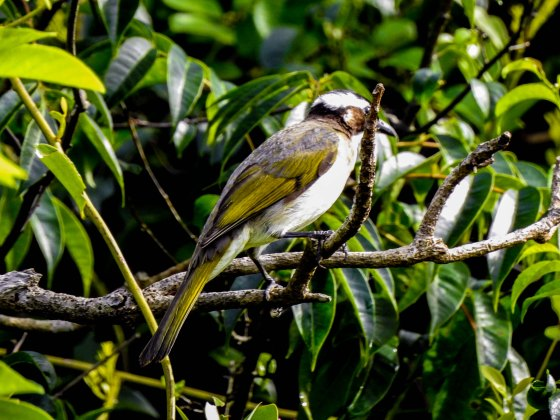 This was a slightly more fruitful walk as far as birds were concerned...not sure what this was though. a type of bulbul?