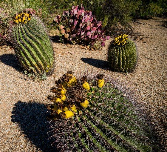 unusual cacti flowers