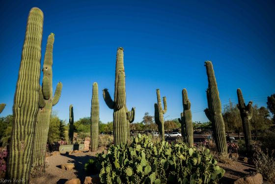 Giant Saguaro cacti...more than 50 years old..and home to the Gila Woodpecker and Desert wren