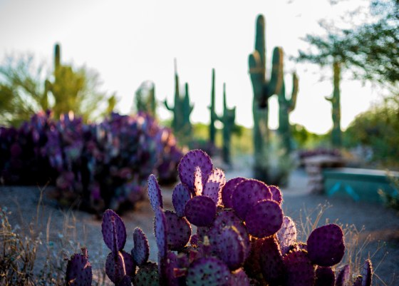 There were very pretty purple cacti too..