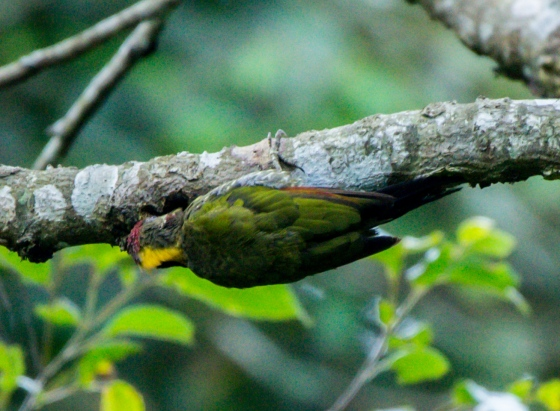 one of the first birds we saw was the yellow naped woodpecker...from a long way away...