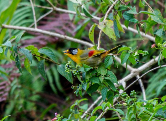 a signature bird of FH, the silver eared mesia