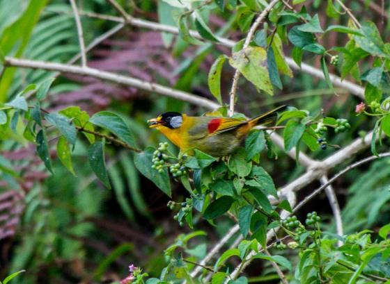 a signature bird of FH, the silver eared mesia