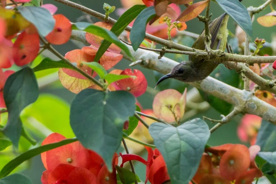 female black throated sunbird in the garden...