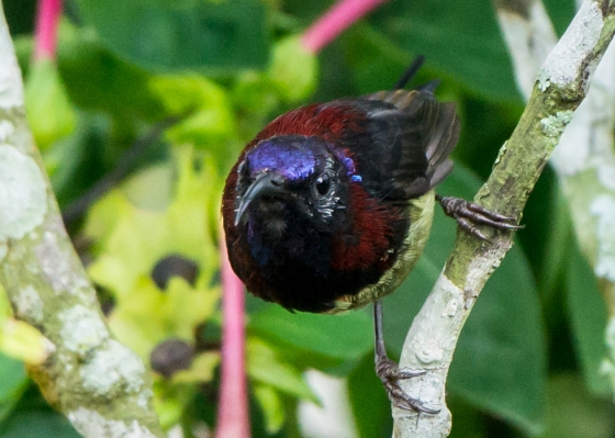 colourful male black throated sunbird
