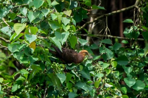 cuckoo dove