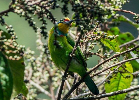 another black browed barbet feeding