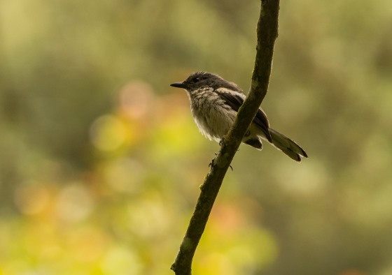 consensus seems to be female oriental magpie robin ?