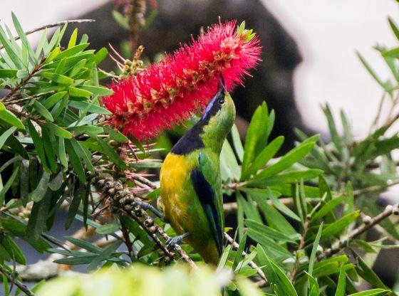 Another orange bellied leaf bird at Jelai
