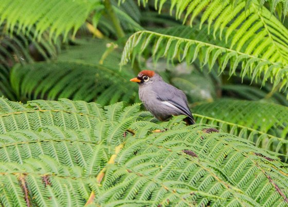 Chestnut capped laughing thrush...grey bodied and winhed
