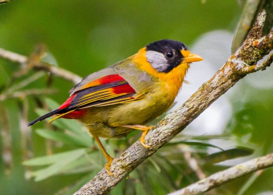 one of the signature birds of FH, the gorgeous silver eared mesia
