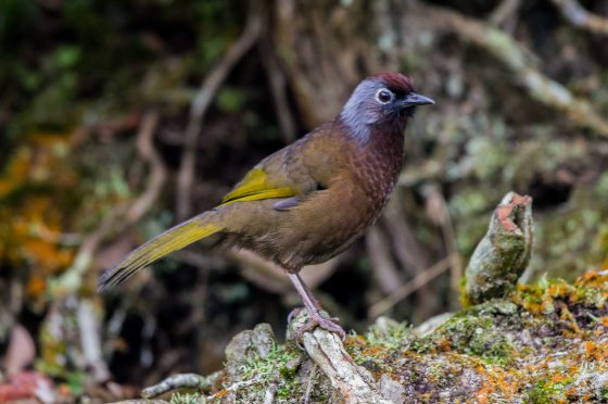 chestnut crowned laughing thrush...olive brown wing and body
