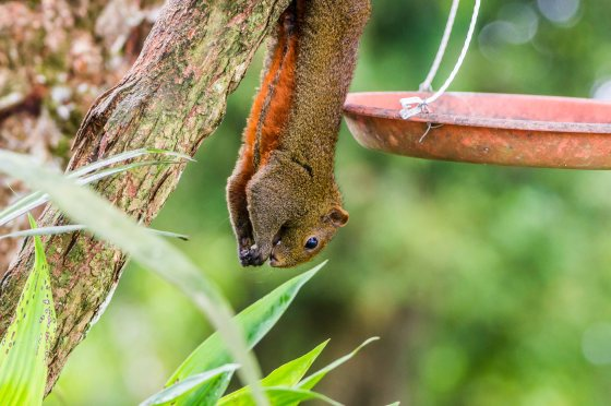 beautiful red bellied squirrel helping himself to the bird feed...