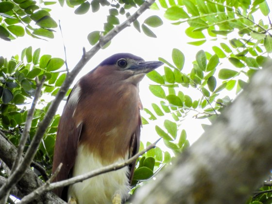 Rufous night heron at the Crocodile Farm