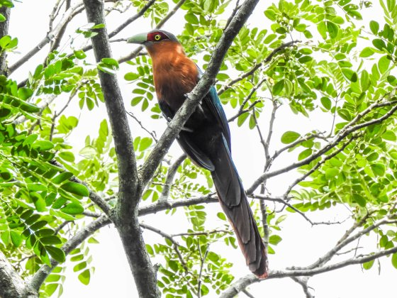 and then this beautiful chestnut breasted malkoha appeared high in the trees...