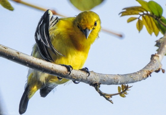 common iora preening