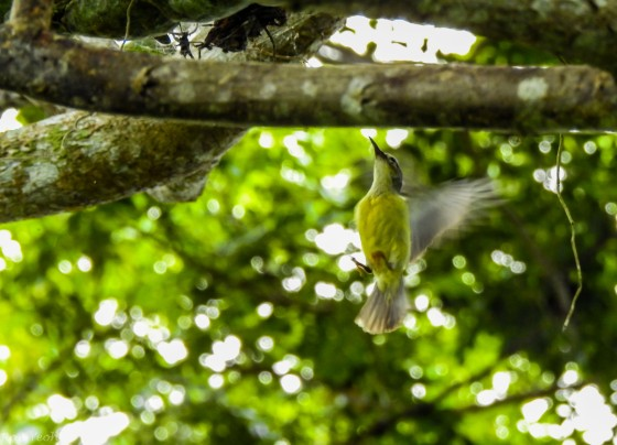 female olive backed sunbird picking at a spider's web...this lady entertained us for quite a bit...taking the thread to build her nest